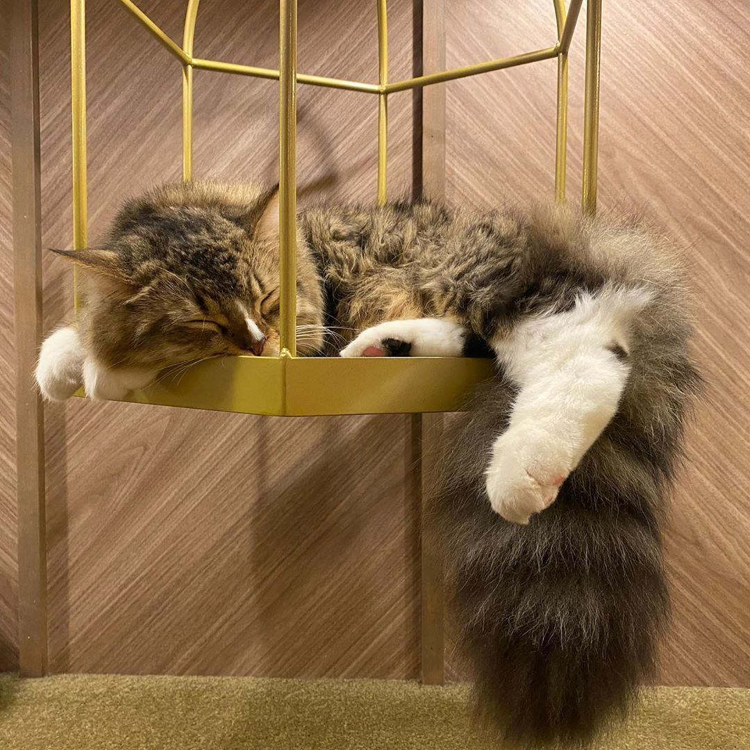 Cat Cafe Mocha fluffy sleeping cat