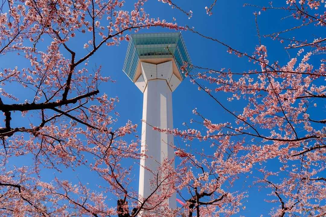 Goryoukaku tower and Park Spring cherry blossoms
