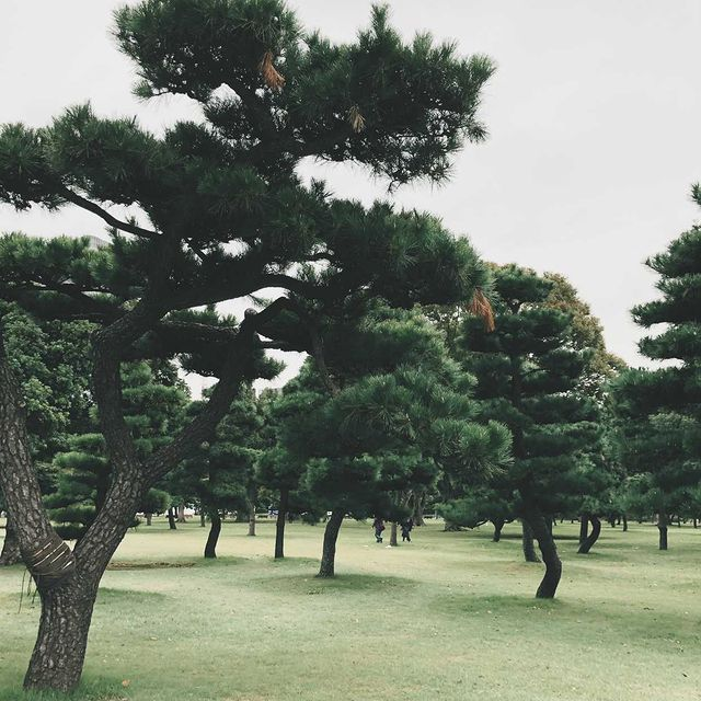 Imperial Palace Pine Trees